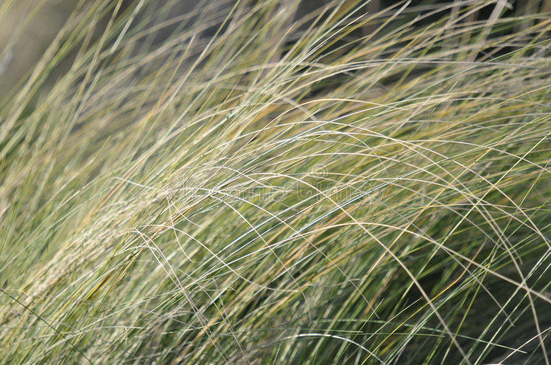 California Native Grasses. At Barona Indian Reservation in San Diego County stock photo