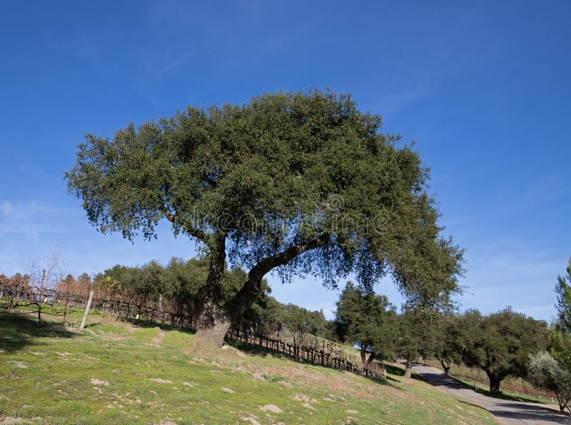 California Oak tree in winter in Central California vineyard near Santa Barbara California USA. California Oak tree in winter in Central California vineyard near royalty free stock images