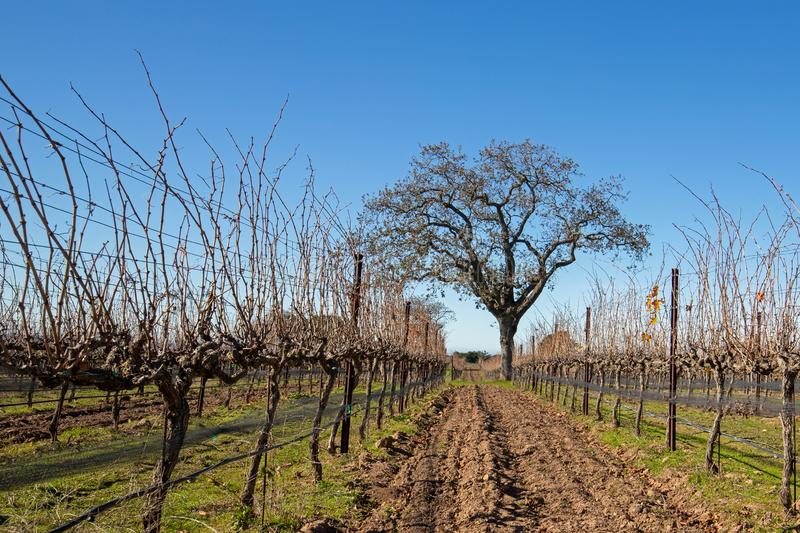 California Oak tree in winter in California vineyard near Santa Barbara California USA. California Oak tree in winter in California vineyard near Santa Barbara royalty free stock images