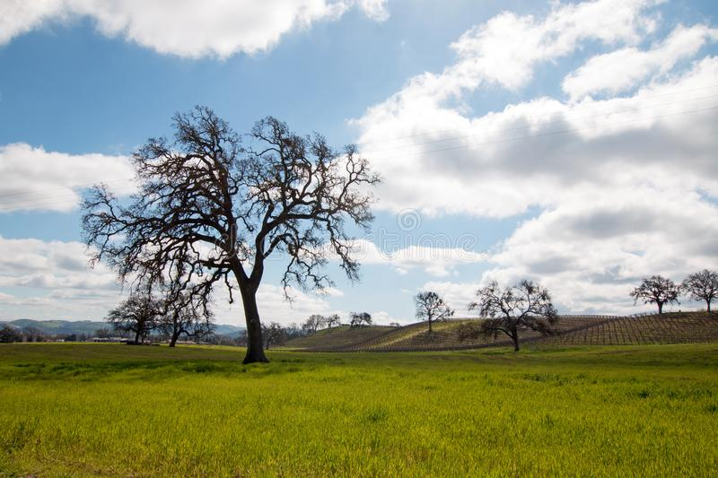 California Oak Trees under cumulus clouds in Paso Robles California USA. California Oak Trees under cumulus clouds in Paso Robles California United States royalty free stock photo