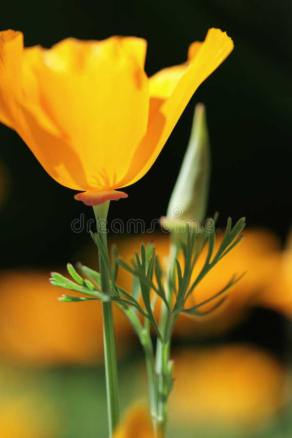 California orange poppies on black stock image