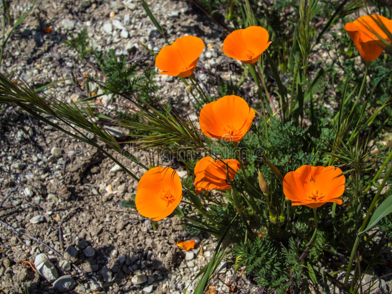 California orange poppy on the ground royalty free stock photography