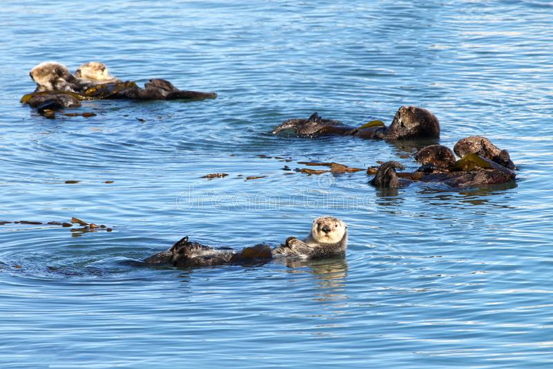 California Otters playing and bathing in shallow waters. California Sea Otters grooming and playing in shallow ocean waters close to shore. Sea otters spend much royalty free stock photography