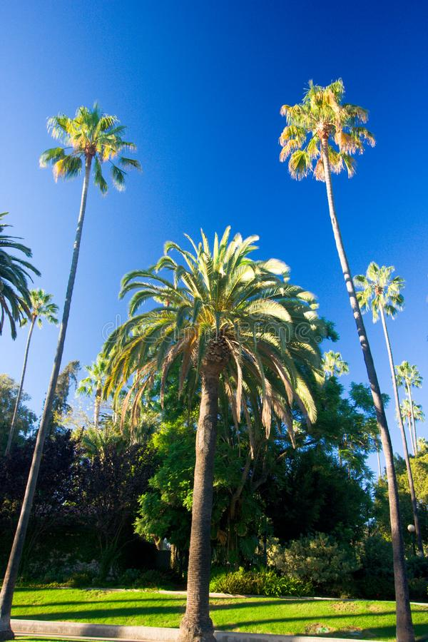 California palm trees stock photography