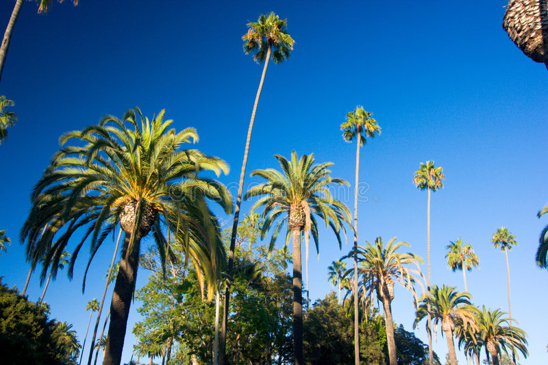 California palm trees royalty free stock image