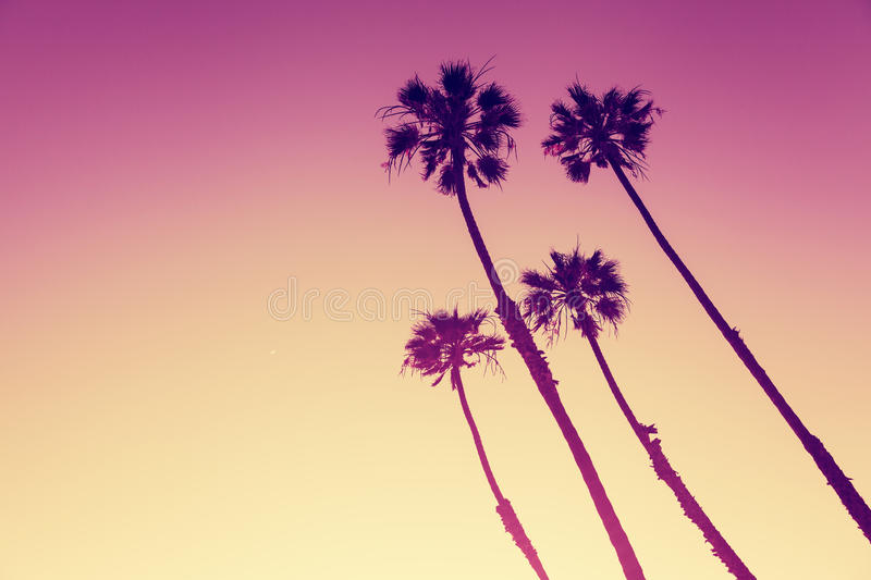 California Palms at sunset. California Palm Trees view in Sunset Cliffs, San Diego, USA royalty free stock photo