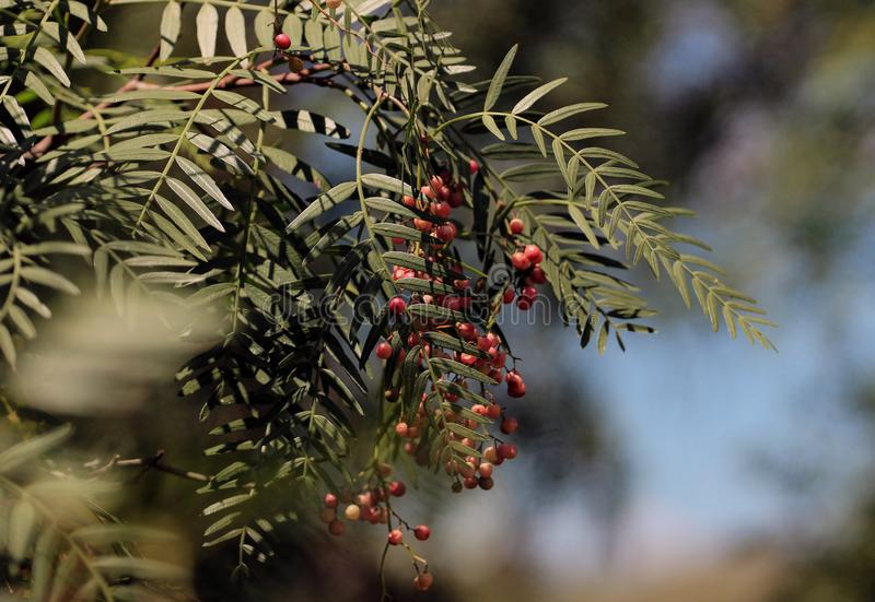 California pepper tree Schinus molle - a branch with leaves and fruit royalty free stock photo