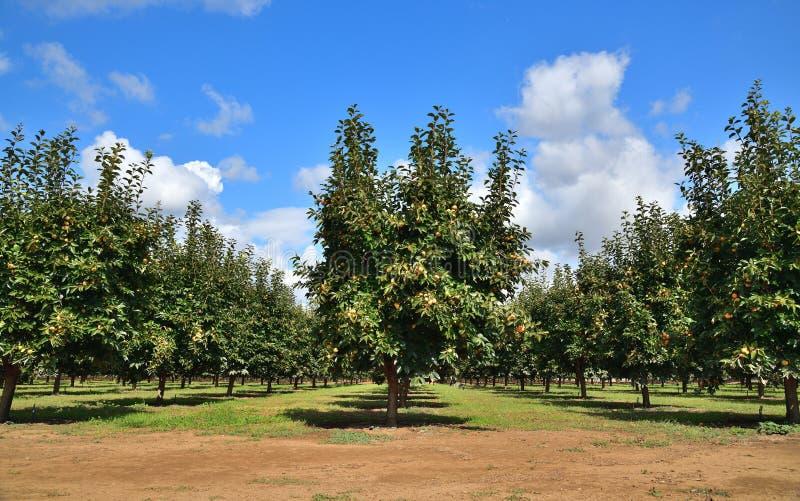 California: Persimmon Orchard en el Valle Central imagen de archivo libre de regalías
