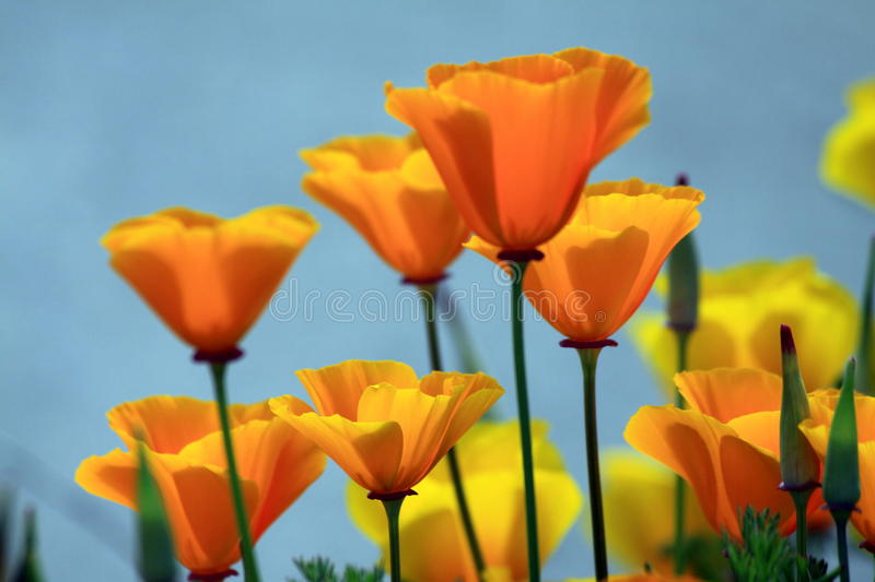 Download California Poppies stock photo. Image of flower, mystic - 14794336