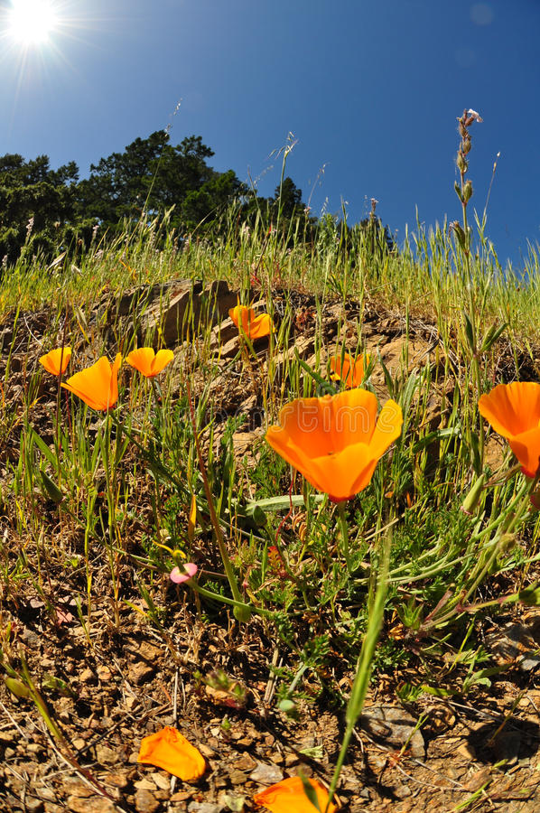 Download California poppies stock image. Image of angle, biology - 20402329