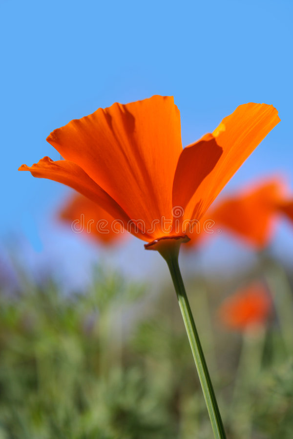 Download California Poppies stock photo. Image of poppy, wildflower - 4687130