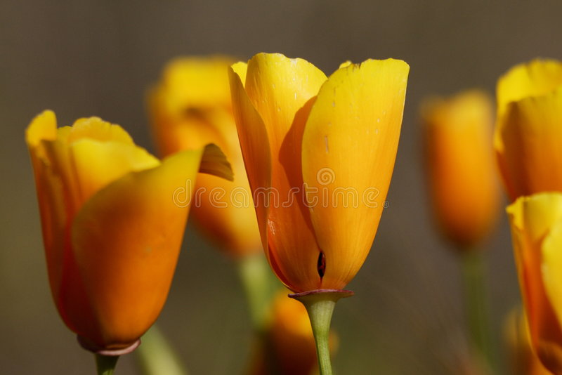 Download California Poppies stock image. Image of flowers, spring - 5266469