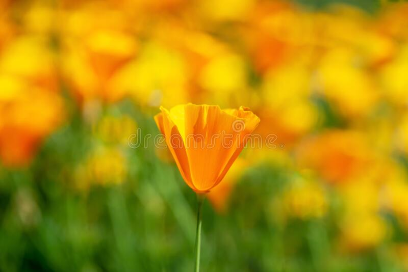 California poppies bloom in spring stock photos