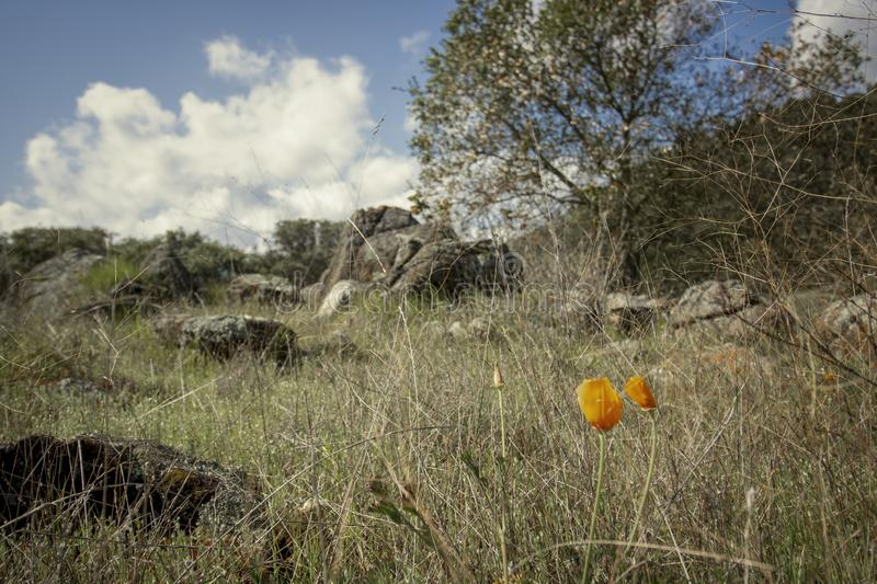 California poppies in early spring in the California hills royalty free stock photos