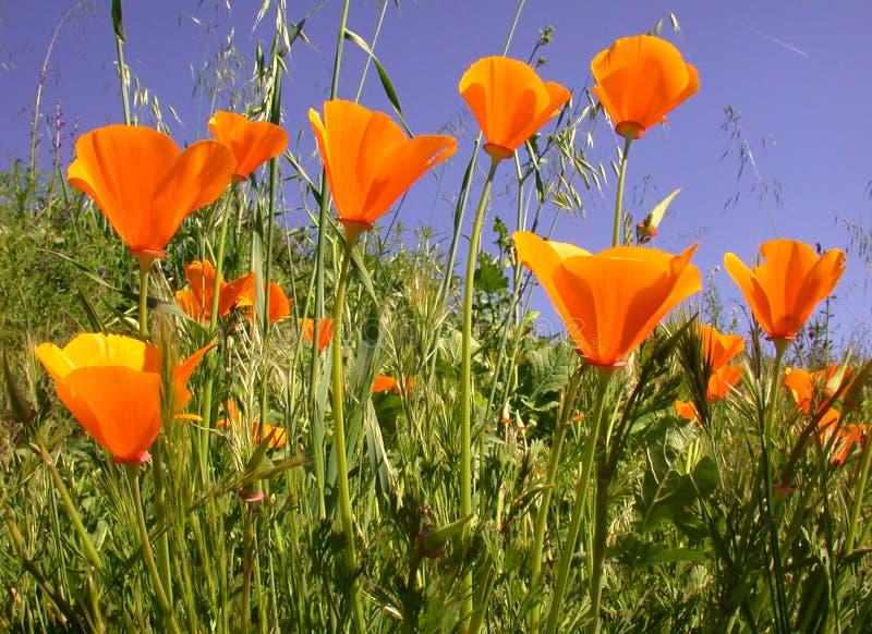 California Poppies, Eschscholzia californica stock image
