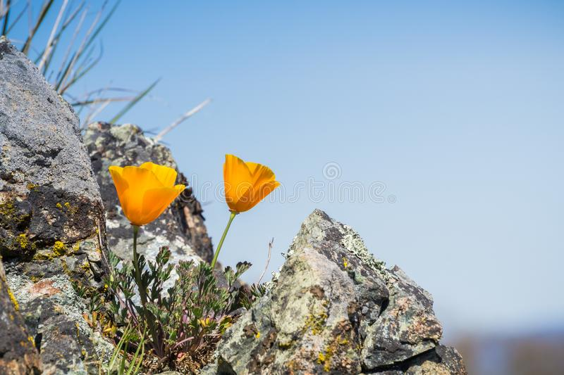 California Poppies Eschscholzia californica growing among rocks on a blue sky background, Henry W. Coe State Park, California stock photo
