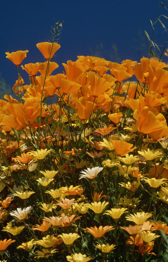 Download California Poppies And Wildflowers Stock Photo - Image: 23150050