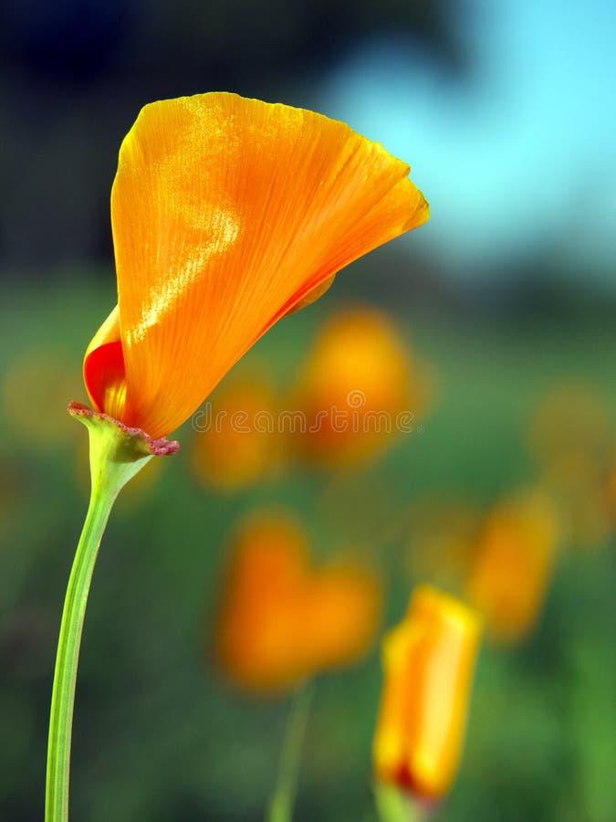 California poppy stock images