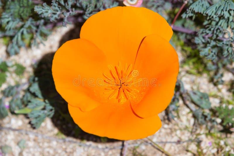 California Poppy Close Up foto de archivo libre de regalías