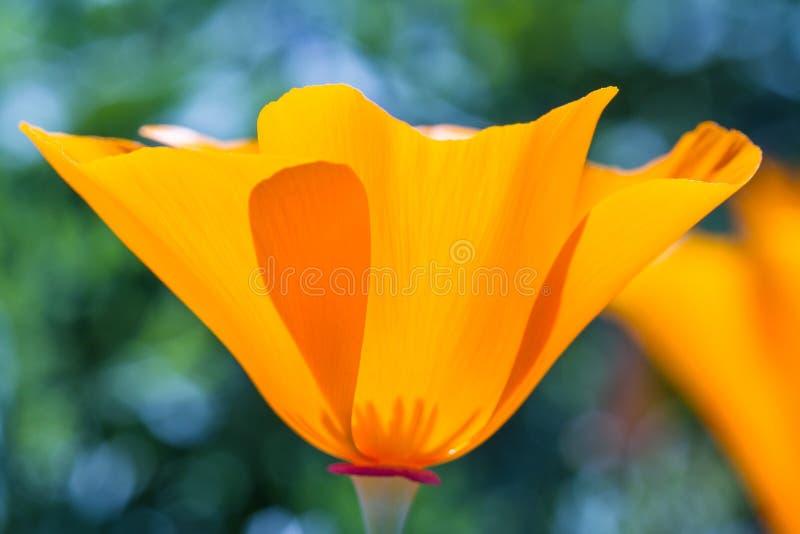 California Poppy Close Up imagenes de archivo