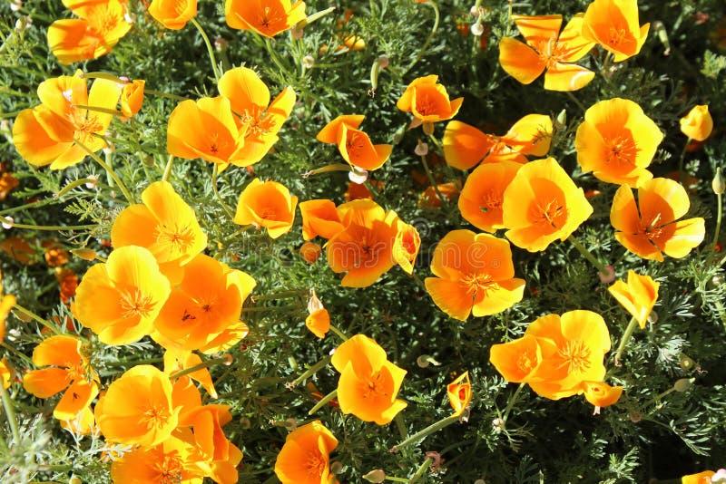 California Poppy Eschscholzia Californica stock photo