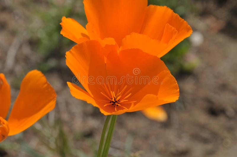 California Poppy Eschscholzia californica Close Up stock image