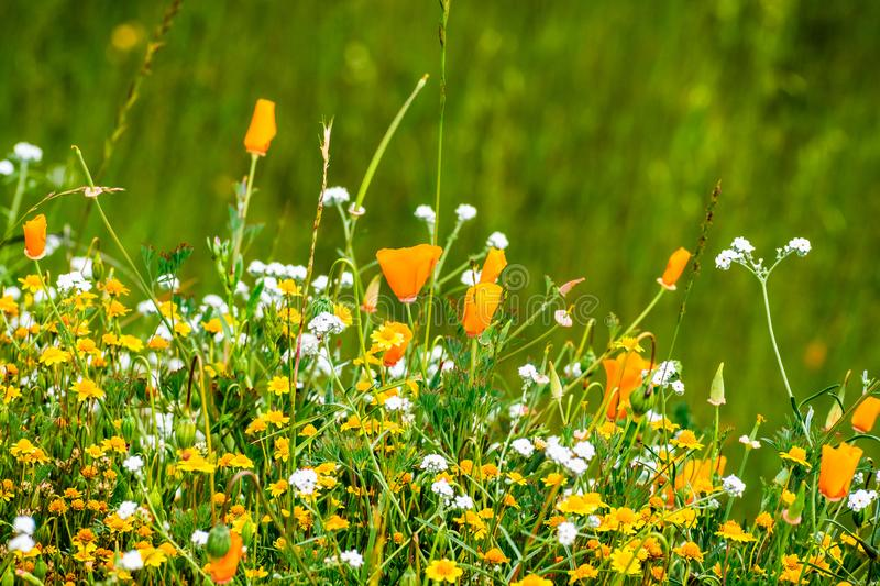California poppy Eschscholzia californica and various other wildflowers blooming on a meadow, south San Francisco bay area, San stock photo
