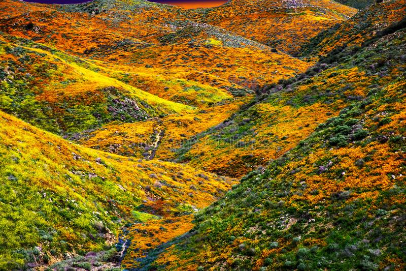 California Poppy fields landscape, sun setting on the horizen casting a gloden glow over colorful hills and valleys. royalty free stock photography
