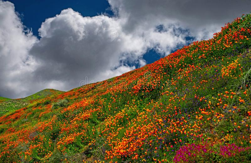 California Poppy fields landscape,wildflowers covering the hills and valleys of California. stock images