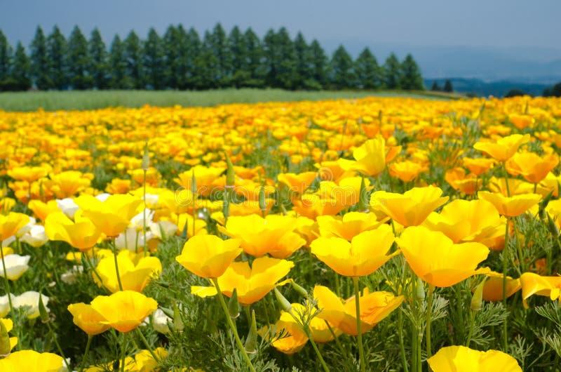 California poppy flower field royalty free stock photos