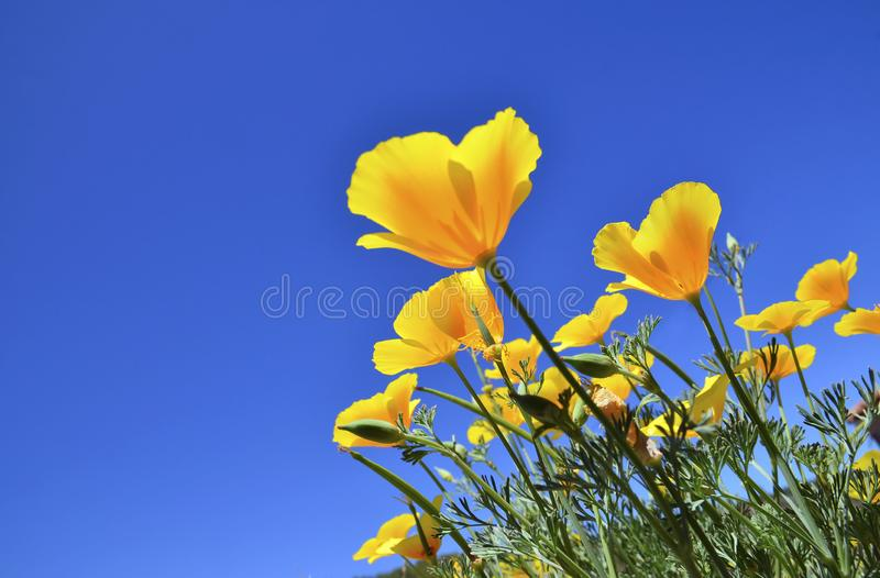 California Poppy flowers Eschscholzia californica on a blue sky background.Blooming Cup of gold. stock photo