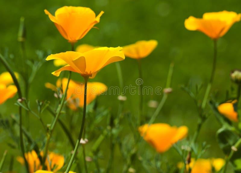 California poppy flowers stock photos