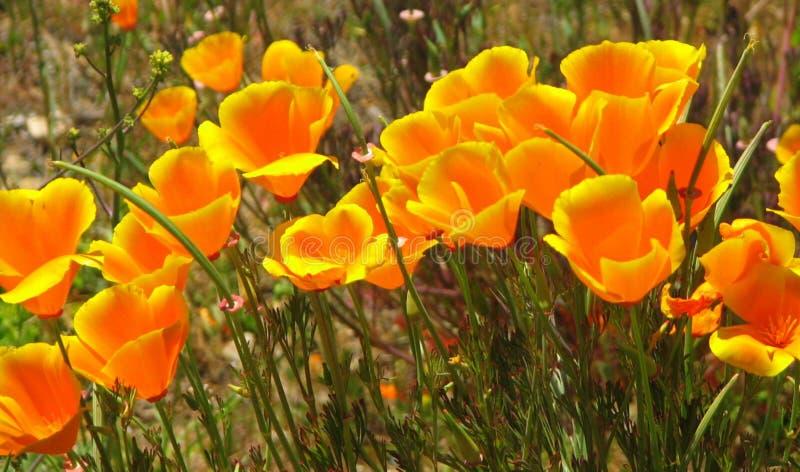California Poppy royalty free stock image