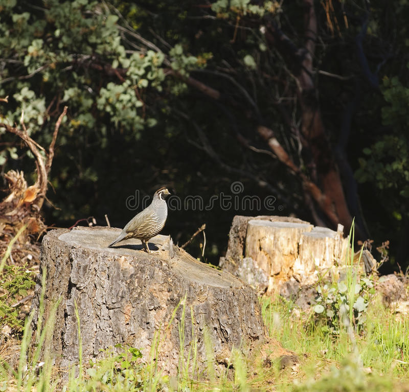 California quail. Male California quail standing on a cut off tree trunk royalty free stock image