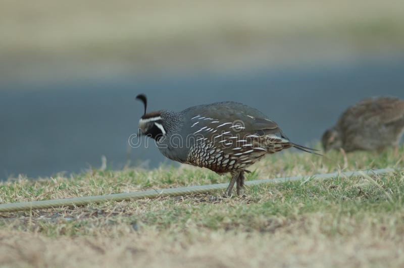 California quail. stock images