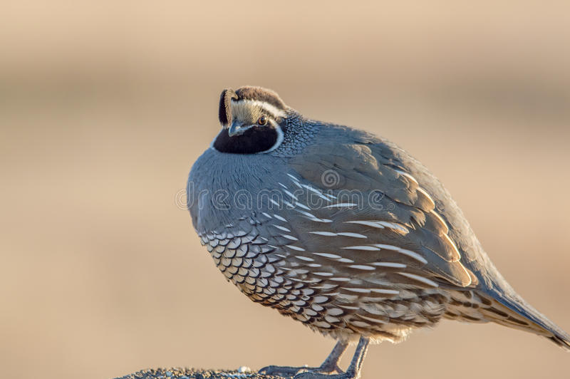 California Quail. Close-up of a California quail perched on a fence post royalty free stock photo