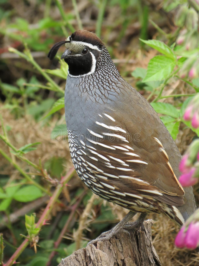 CAlifornia Quail - Close-up. A telephoto image of a california quail perched on a stump. Head markings and feather patterns and details in sharp focus royalty free stock image