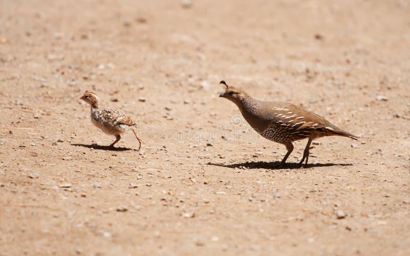 California Quail Crossing. A female and juvenile California quail crossing a path royalty free stock image