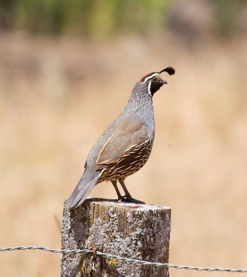 California Quail: Male on Post. A male california quail perching on a wooeden post, eyeing the camera stock images