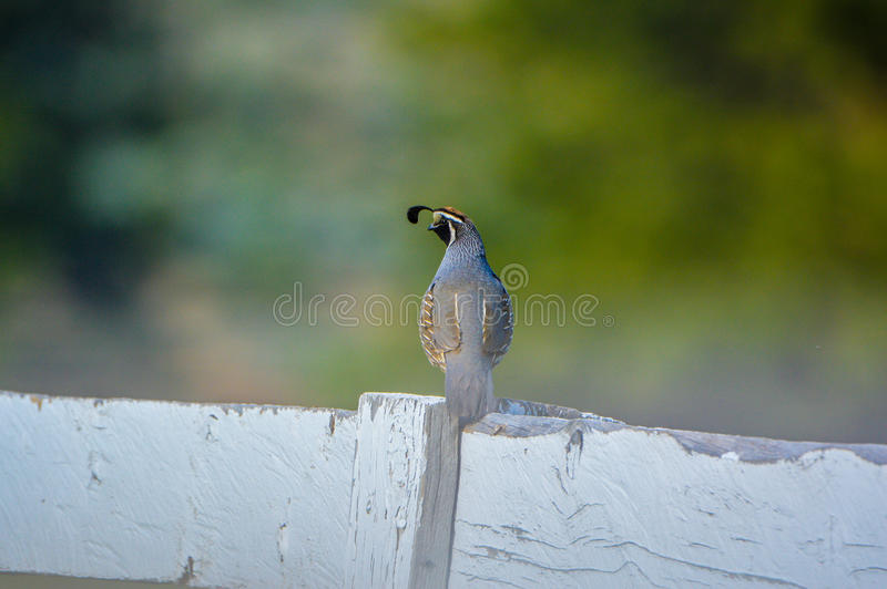 California Quail. Perched on a white fence royalty free stock photography