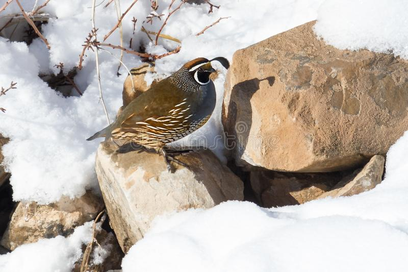 California quail in winter setting perched on a rock. California quail in snowy winter setting perched on a rock in the wild stock photography
