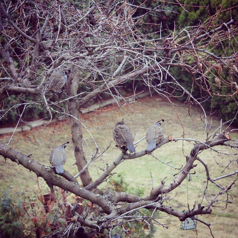 California quails on bare tree branches. Quails on bare peach tree branches in early spring. California quail closeup on tree royalty free stock photo