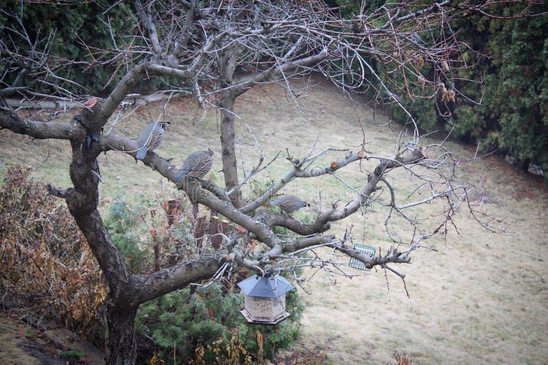 California quails on bare tree branches. Quails on bare peach tree branches in early spring. California quail isolated closeup on tree stock photo