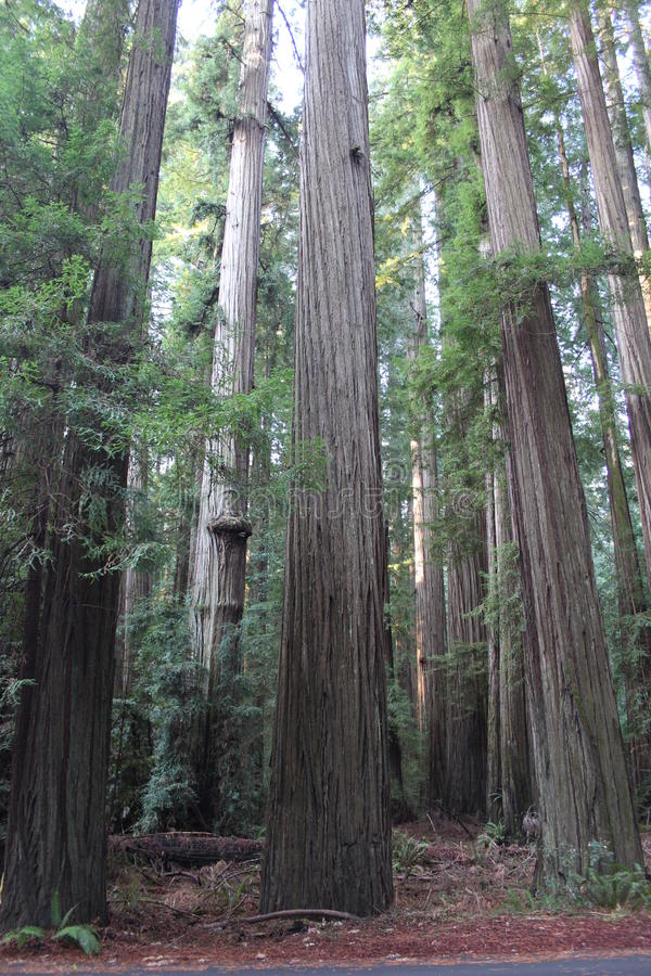 Download California Redwood Forest stock image. Image of tall - 37877879