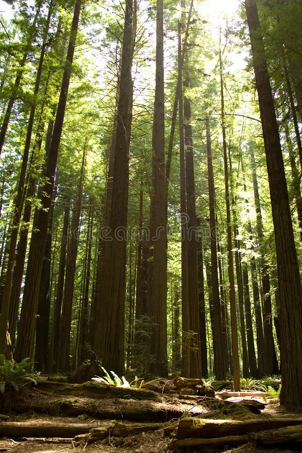 california redwoods obrazy royalty free