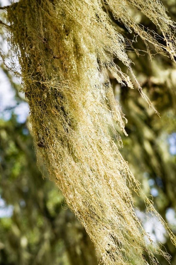 California`s State Lichen Lace lichen; Ramalina Menziesii on live oak trees, Henry W. Coe State Park, California royalty free stock photo
