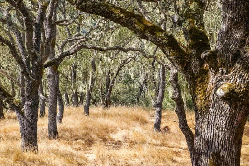 California`s State Lichen Lace lichen; Ramalina Menziesii on live oak trees, Henry W. Coe State Park, California stock photo