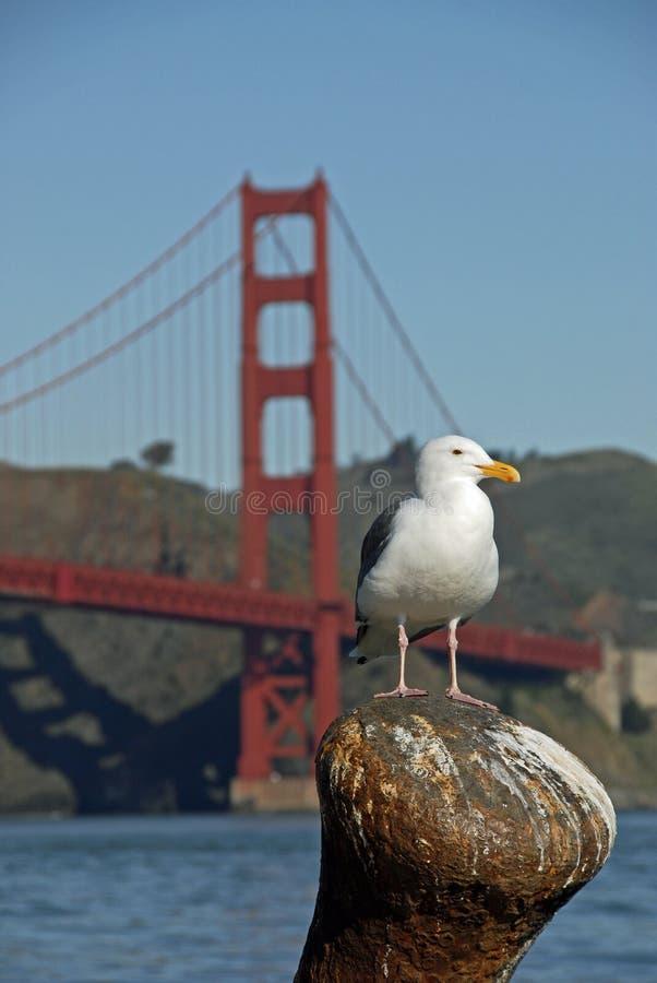 California Sea Gull Goldem Gate Bridge royalty free stock image