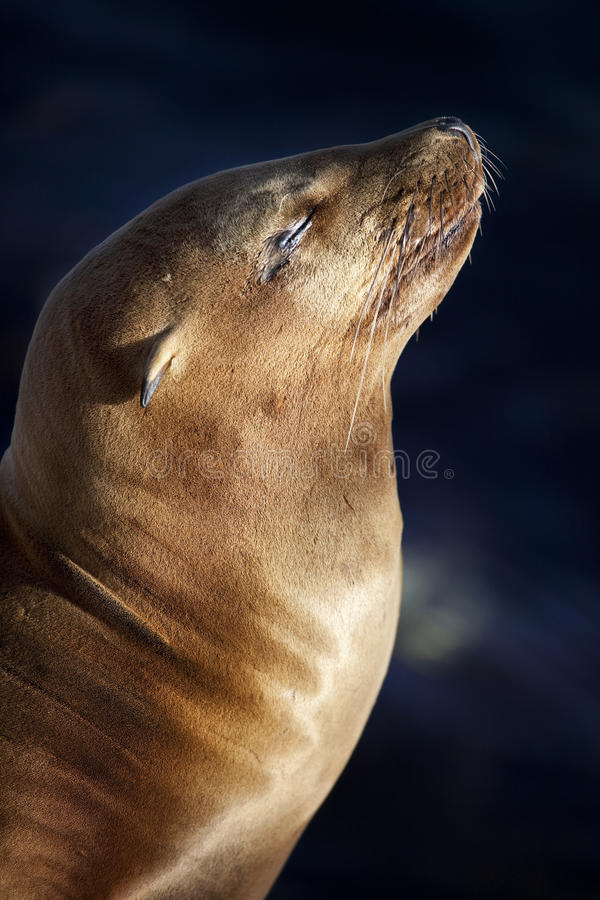 Free California Sea Lion Stock Photo - 14874240