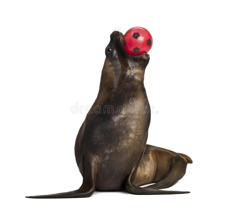 California Sea Lion, 17 years old, playing with ball royalty free stock photos